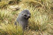 Female Antarctic Furseal