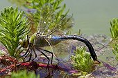 Emperor Dragonfly laying in water Provence France