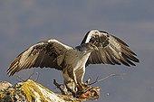 Bonelli's eagle eating a partridge on a rockLleida Spain