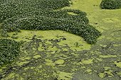 Small duckweed in a water-filled ditch France