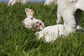 Charolais calf lying in a pasture Normandy France