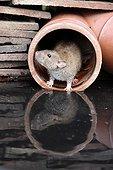 Brown Rat by water Midlands UK