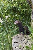 Putois d'Europe femelle sur un arbre coupé GB