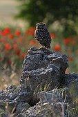 Little owl on stones Spain