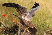 Montagu's Harriers mating Spain