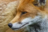 Close-up of the head of a Red Fox in summer GB