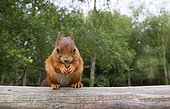 Red Squirrel eating a nut in summer Scotland