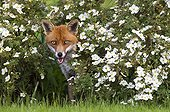 Red Fox standing amongst flowers at spring GB
