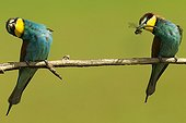 European bee-eater in a courtship display Hungary
