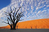 Dead Vlei Sossusvlei dead acacia Namib Desert Namibia  ; Dead Vlei is an old saltpan named for its eery dead appearance. Water was cut off when the flow of the Tsauchab River changed its course approximately 500 years ago. This now provides visitor with the most spectacular scenery