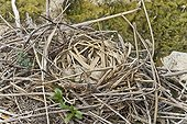Common Moorhen nest with eggs on the Loire France