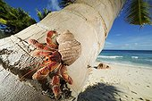 Hermit Crab on a coconut palm tree Seychelles