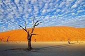 Dead Acacia tree Salt pan Dead Vlei Namibia