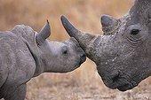 Jeune Rhinocéros blanc et sa mère en Afrique du sud