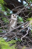 Southern White-faced Scops-Owl on a branch Kgalagadi