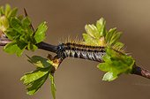 Black-veined White caterpillar on a twig at spring Denmark