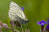 Black-veined White on a flower at spring Denmark