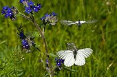 Black-veined White courtship behaviour at spring Denmark