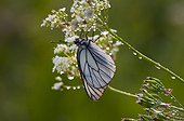 Black-veined White with dew at dawn Denmark
