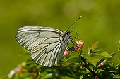 Black-veined White feeding on Common Cotoneaster Denmark