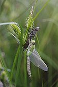 Emperor Dragonfly leaving his exuvia during moulting France