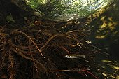 Minnows and roots Alder Massane river Massif Albères France