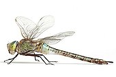 Lesser Emperor Dragonfly profile on white background