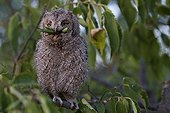 Young Common Scops-owl eating a Bush-cricket France