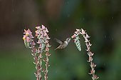 Scintillant Hummingbird female Savegre Costa Rica