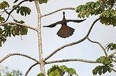Crested Guan La Selva Costa Rica