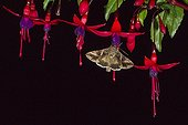 Silver Y Moth  feeding on fuschia flowers at night in garden