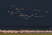 Lesser Flamingos on Lake Nakuru Kenya