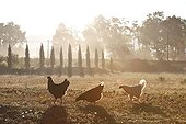 Hens and Cypress at sunrise Provence France