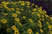 Hooker Inula flowers Gardens of Crathes Castle Scotland UK