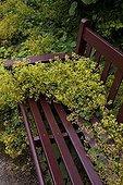 Lady's mantleand bench Scotland Crathes Castle Gardens