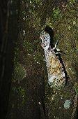 Peanut-head Bug Tambopata Amazon Peru