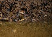 Sunbittern in flight Amazon Peru