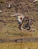 Sunbittern landing Amazon Peru
