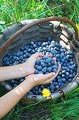 Harvest of blueberries