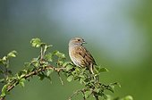 Dunnock in song in spring Norfolk UK