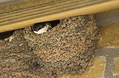Northern House-martin at nest under eaves Northumberland UK