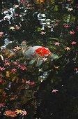Koi in a garden pound in autumn  Japon