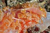 Emperial Shrimp on the Indian Ocean Reef Bali