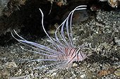 Red Lionfish on reef Bali Indian Ocean