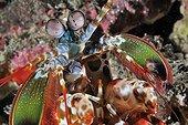 Portrait of Peacock Mantis Shrimp Bali Indian Ocean