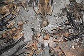 Dead Eurasian Jackdaws into an attic France  ; 15 jackdaws have entered an attic with a fireplace and remained prisoners.