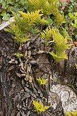 Deers foot fern in Canary Islands