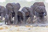 African Elephants walking in water Etosha Namibia