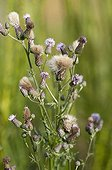 Field thistle in bloom
