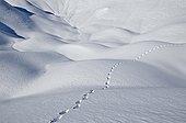 Trace Fox in the Snow Aravis Alps France